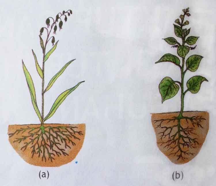 Hasil gambar untuk akar serabut
